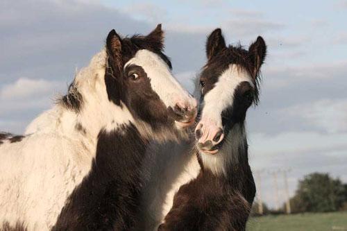 Adopt an adorable Horse kissing horses